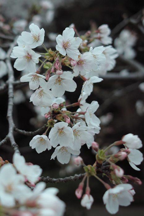iPhone用の桜の壁紙